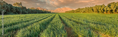 Photo Agricultural field with ripe green onions