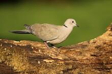 The Eurasian Collared Dove (Streptopelia Decaocto) In Morning Sun.