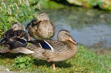 Three Mallard Ducks Resting And Preening By The Edge Of The Marsh