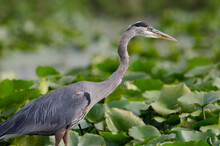 Close-up Of A Great Blue Heron In A Marsh Wetlands