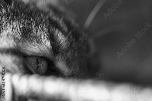 Obraz na plátně black and white cat