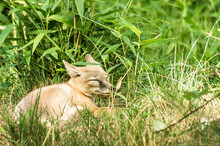 The Corsac Fox