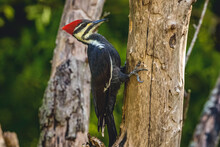 Pileated Woodpecker Hunting