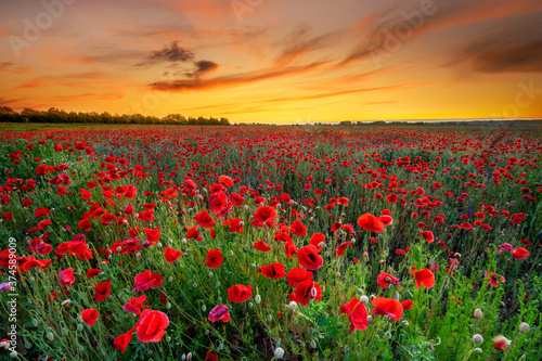 Fototapety, obrazy: Beautiful sunrise over red poppies field