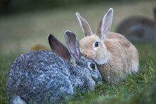 Two Cottontail Rabbits. Sylvil...