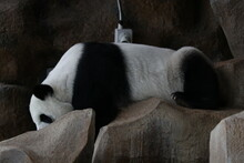 Sleeping Panda On The Rock, Ch...