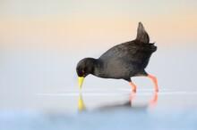 BLACK CRAKE (Amaurornis Flavir...