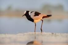 BLACKSMITH LAPWING, Or PLOVER  (Vanellus Armatas).   Wading In Wetlands, Kwazulu Natal, South Africa