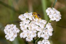 Closeup Of A Wild Bee (prob. P...