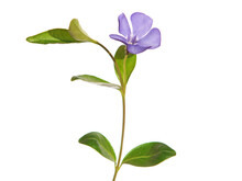 Blue Flower Of Periwinkle Isol...