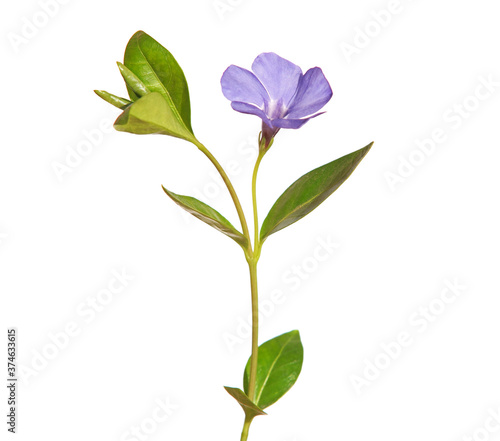 Photo Blue flower of periwinkle isolated on white, Vinca minor