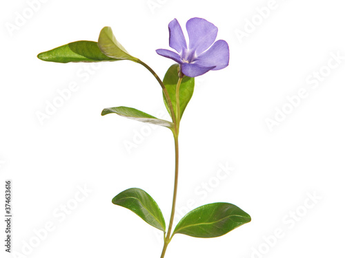 Fotografía Blue flower of periwinkle isolated on white, Vinca minor