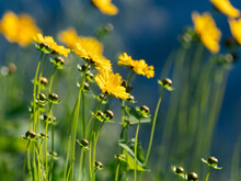 Group Of Lance-leaved Coreopsis Wildflowers