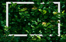 Ficus Pumila Texture Background, Creeping Fig Plant Background With White Frame, Flat Lay, Nature Concept