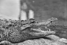 Crocodile In His Natural Habit...