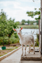 White Goat Stands On The Steps Of The House, Against The Background Of Trees
