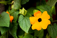 Black-eyed Susan Vine Orange F...