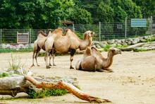 Camels In Korkeasaari Zoo In Helsinki At Summer