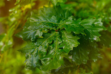 Close Up Of Reen Oak Leaves At...