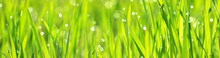 Green Grass And Dew Drops At S...