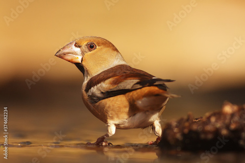 Fototapeta The hawfinch (Coccothraustes coccothraustes) sitting at a waterhole