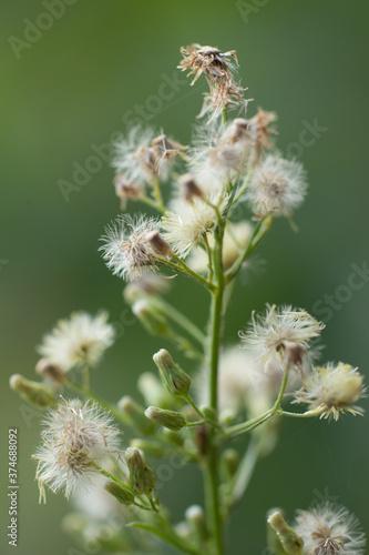 Obraz kwiat dmuchawce - fototapety do salonu