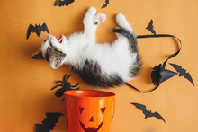 Cute Kitten Lying And Meowing At Halloween Trick Or Treat Bucket And Black Bats On Orange Background. Funny Kitty Yawning At Jack O' Lantern Pumpkin Pail, Flat Lay. Happy Halloween