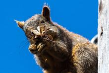 Eastern Fox Squirrel (Sciurus ...