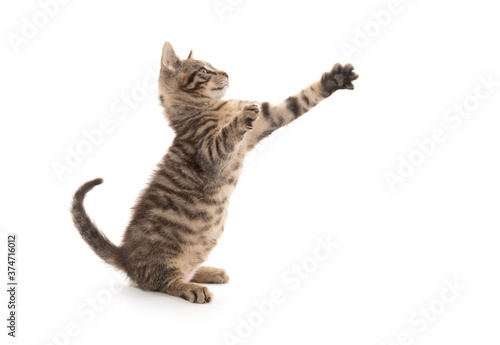 Tablou Canvas Cute tabby kitten playing on white
