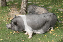 Vietnamese Pot-bellied - Traditional Vietnamese Breed Of Small Domestic Pig. Cute Animal, Pet On Farm. Mini Pig. Fun Vietnamese Pot-bellied. Portrait Of Fat Vietnamese Pot-bellied, Small Pig. Cute Pig
