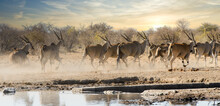 Herd Of Eland Antelope Running From A Waterhole In Namibia, Africa.
