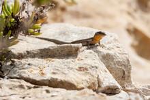 Maltese Wall Lizard (Podarcis Filfolensis)