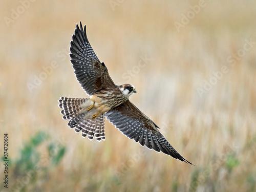 Canvastavla Red-footed falcon (Falco vespertinus)