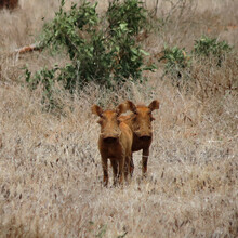 Two Wild Pigs In The Middle Of The Sabana