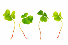Green Clover Leaves Isolated O...
