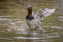 Male Canvasback Duck Flapping ...