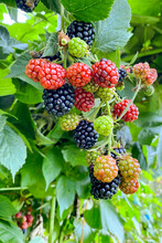 A Bunch Of Ripening Large Blackberries
