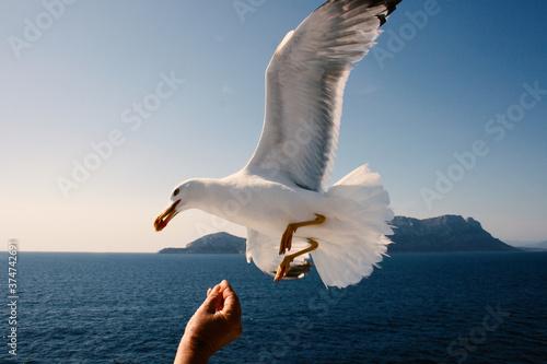 Vászonkép Gabbiano in volo becca cibo sulla mano