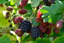 Large Blackberries Ripen In Th...