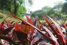 Red Cordyline Fruticosa In The...