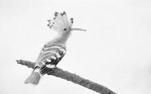 Eurasian Hoopoe Bird Close Up ( Upupa Epops ) - Sketch