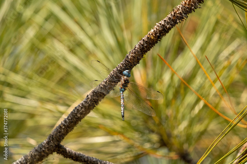 Tablou Canvas Beautiful dragonfly on a pine limb in the Sierra Nevada mountains