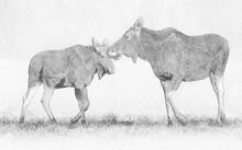 Elk / Moose (Alces Alces) Clos...
