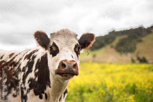 Vaca comiendo pasto Canvas Print