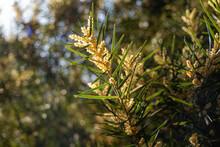 Acacia Doratoxylon Or 'currawa...