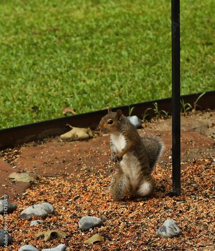 Tablou Canvas Squirrel standing on hind legs in birdseed