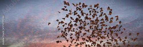 Fotografie, Obraz swarm of monarch butterflies, Danaus plexippus cloud during sunset