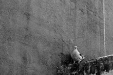 White Dove On A Roof