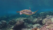 Vibrant Clear Underwater Scene Of Single Loggerhead Tortoise Swimming Alone In Shallow Ocean Sea Water By Seabed Of Coral Reef With View Of Shiny Surface Water, Queensland, Australia, Handheld Profile