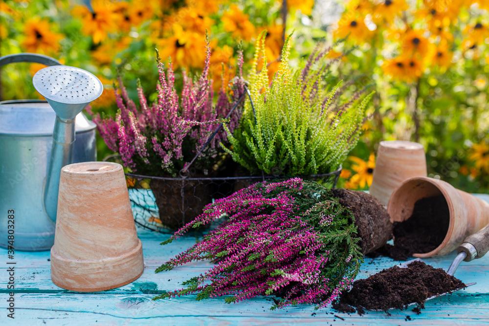 Fototapeta Heathers seedlings for planting in the garden.